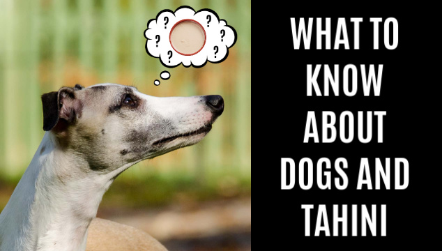 a dog thinking about tahini