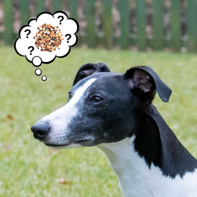 Black and white whippet dog thinking about sesame seeds