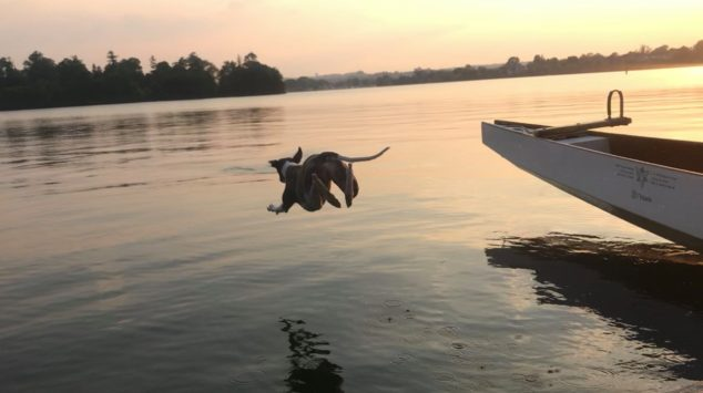 Whippet jumping into a lake from a boat
