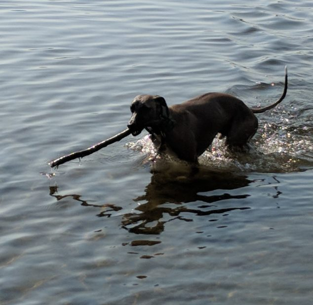 Whippet carrying a stick in a lake