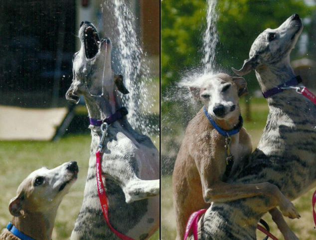Two whippets playing in water from water hose