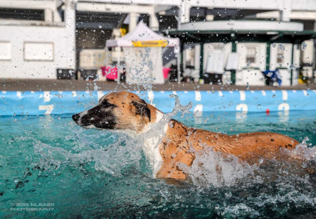 A whippet splashing in a dock diving pool