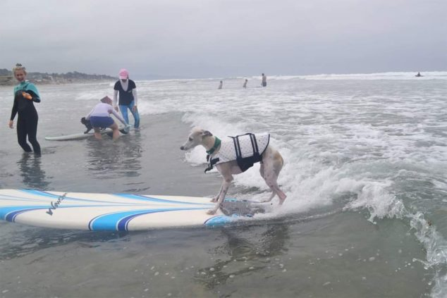 A whippet on a surfboard