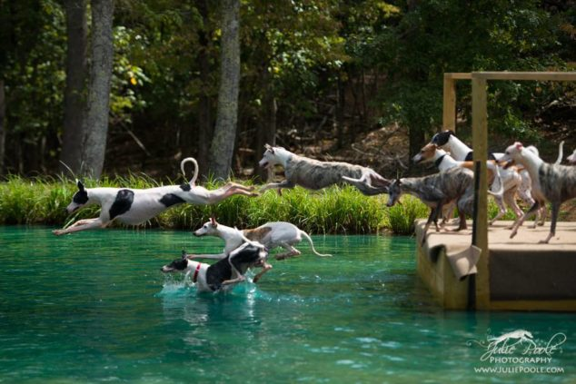 A bunch of whippets jumping off a dock into a lake