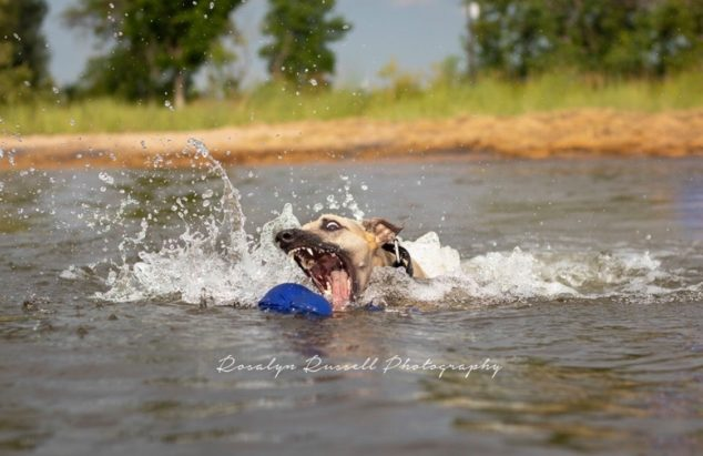 Whippet getting a toy in a lake
