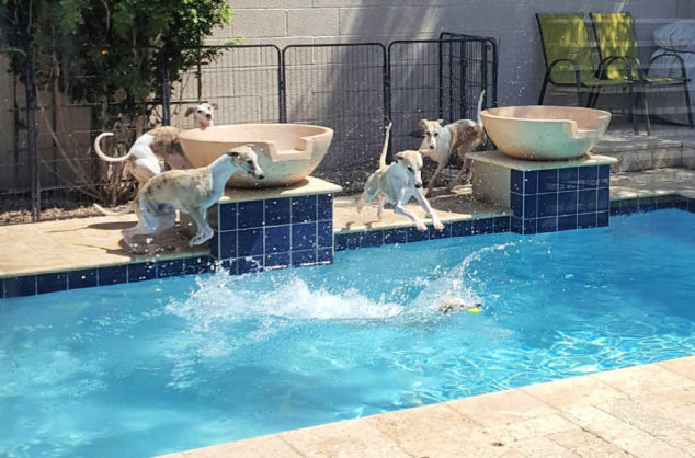Four whippets jumping into a swimming pool