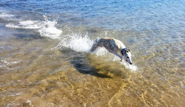 Whippet running in a lake