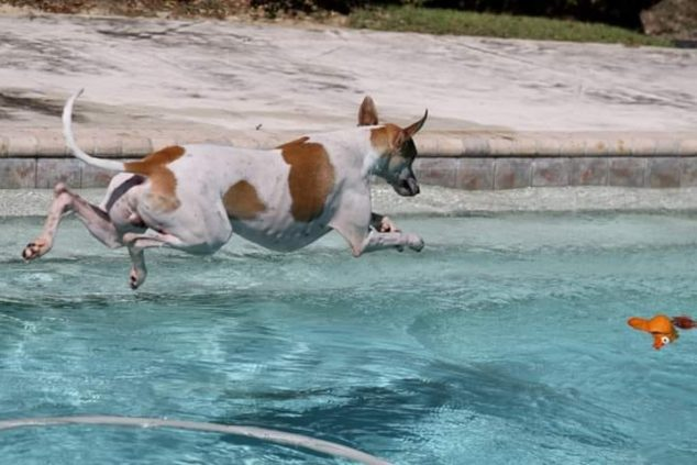White whippet with brown spots jumping into a pool
