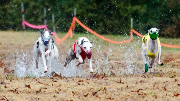 Three whippets splashing in a puddle while running in straight racing