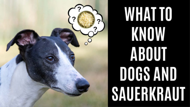 black and white whippet wondering about sauerkraut