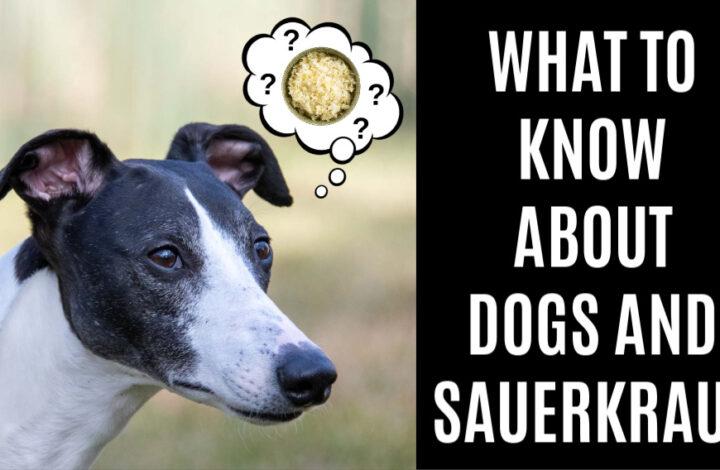 black and white whippet wondering about sauerkraut