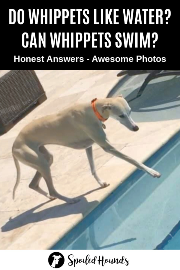 Fawn whippet standing by a swimming pool