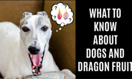 whippet dog wondering about dragon fruit