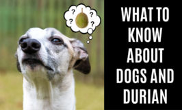 a dog wondering about eating durian