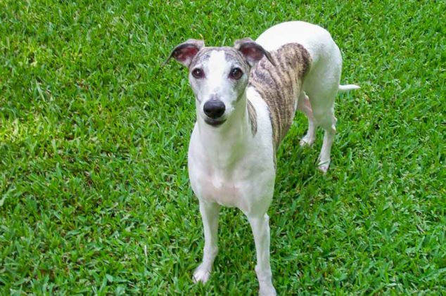 whippet with tan brindle spots