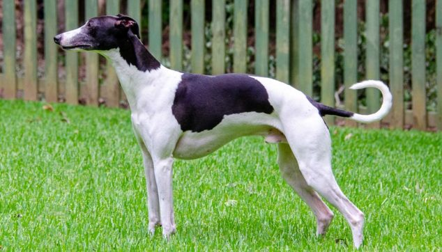 Black and white whippet dog with a curled tail