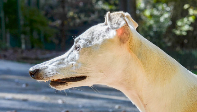 whippet with an extreme overbite