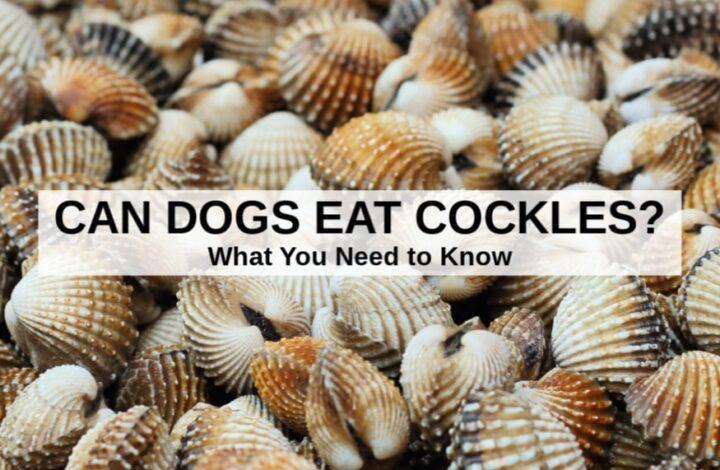 cockles shells