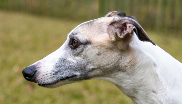 fawn and white whippet dog
