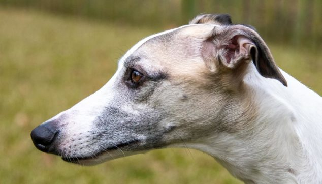 fawn whippet dog