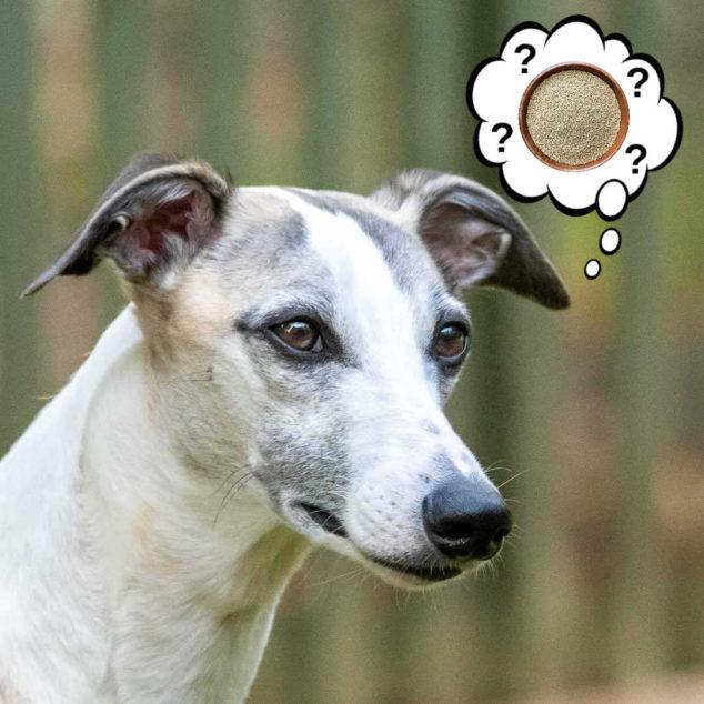 whippet dog wondering about amaranth