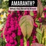 love lies bleeding amaranth plant