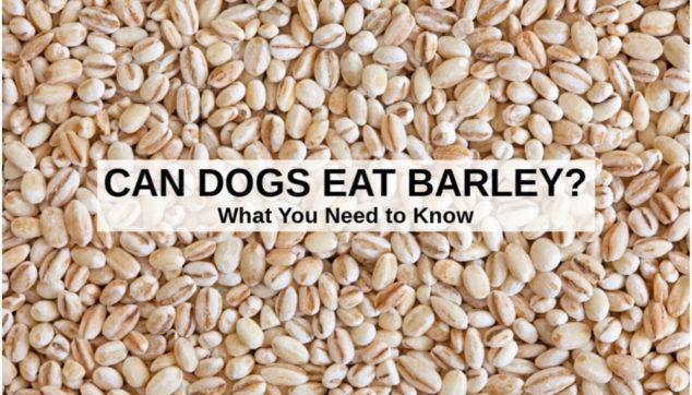 pearled barley grain
