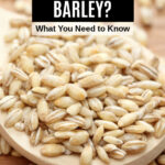 pearled barley in a wooden spoon
