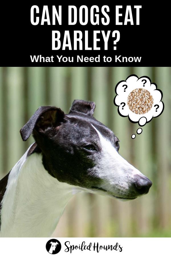 dog wondering about barley