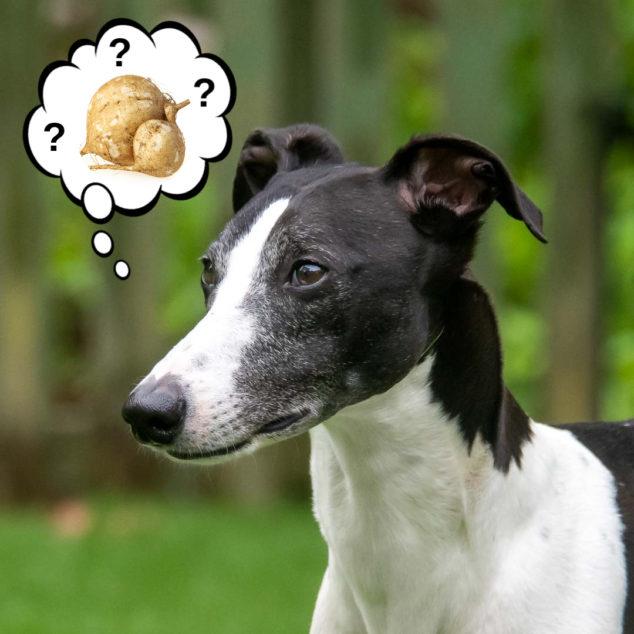 dog wondering about jicama