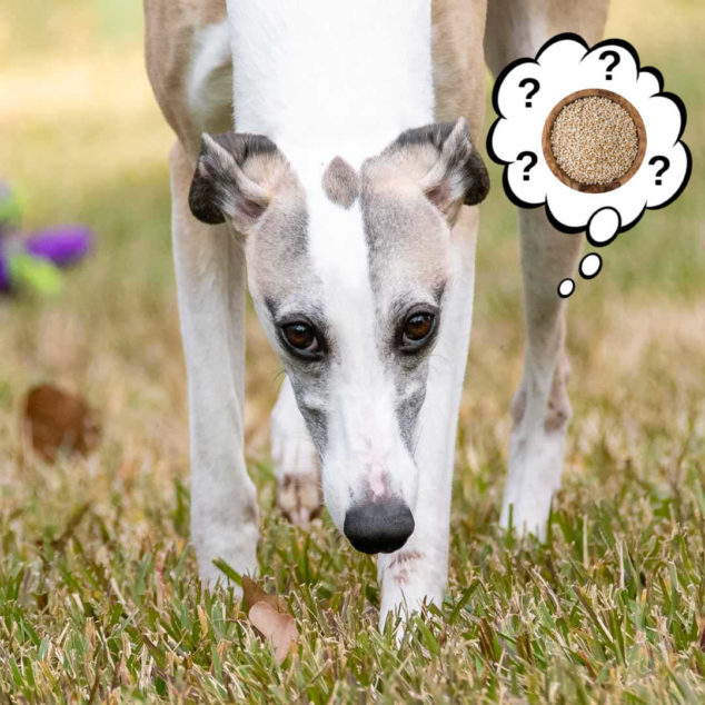 a whippet dog wondering about quinoa