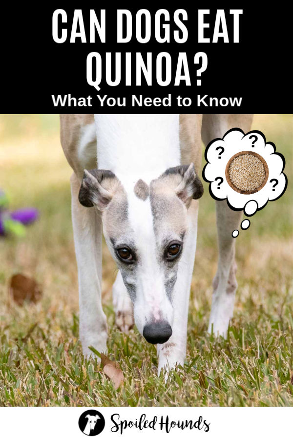 a dog wondering about quinoa