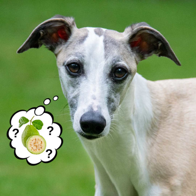 whippet dog wondering about guava