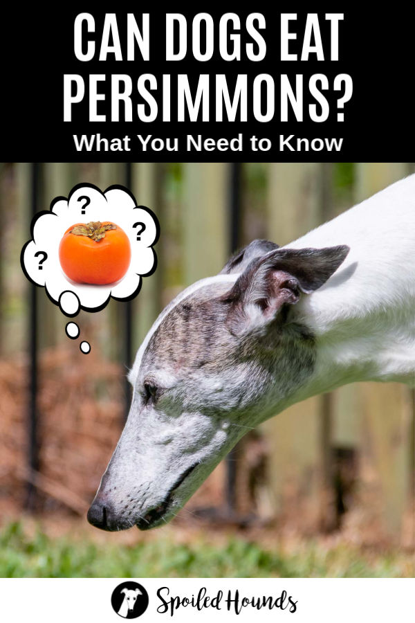 whippet dog wondering about persimmons