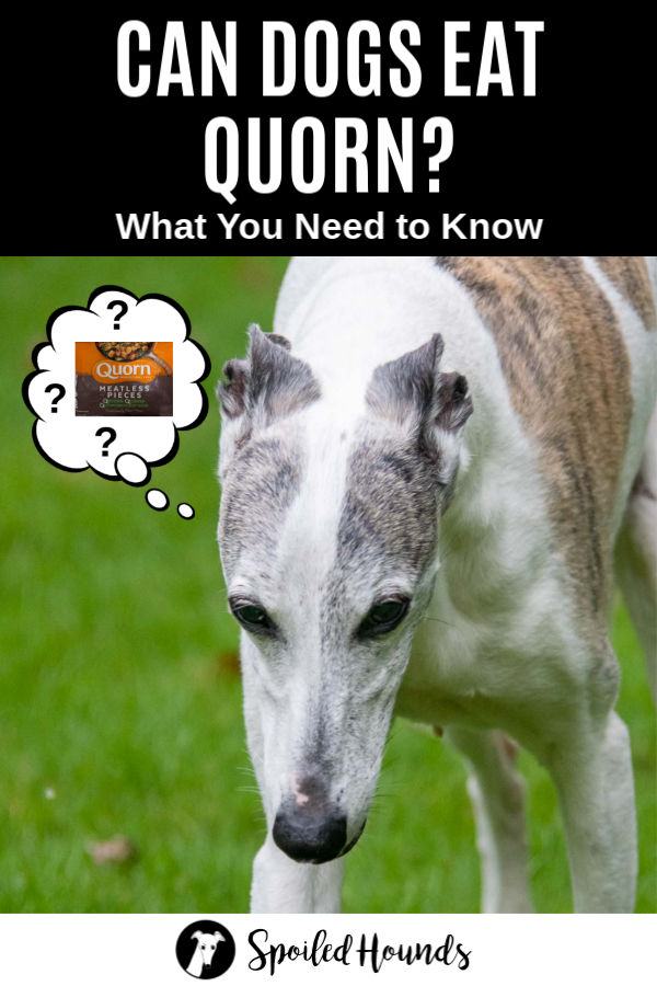 whippet dog wondering about Quorn