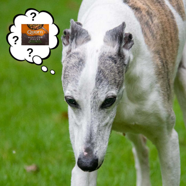 dog wondering about Quorn