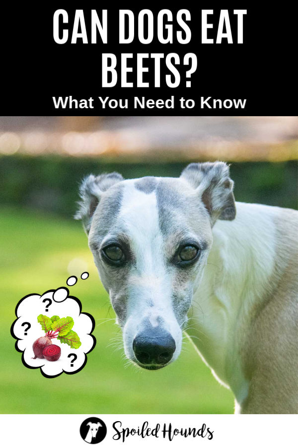 whippet dog wondering about beets