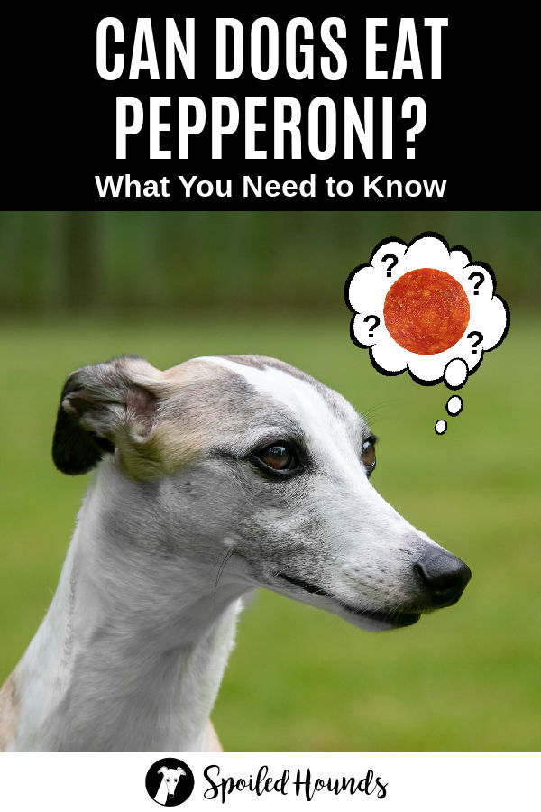 a whippet dog wondering about pepperoni