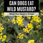 sinapis arvensis wild mustard plant