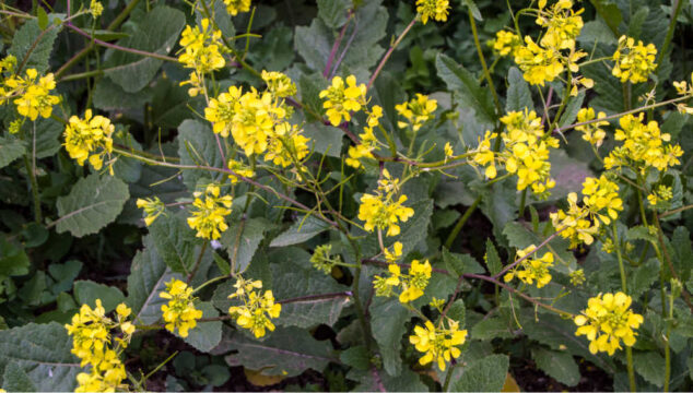 wild mustard sinapis arvensis plant