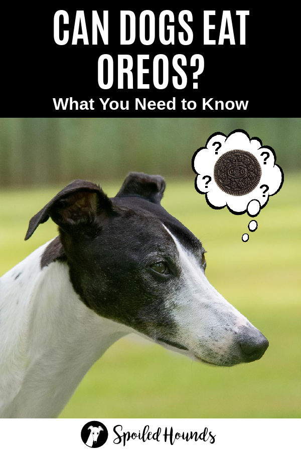 a dog wondering about Oreos