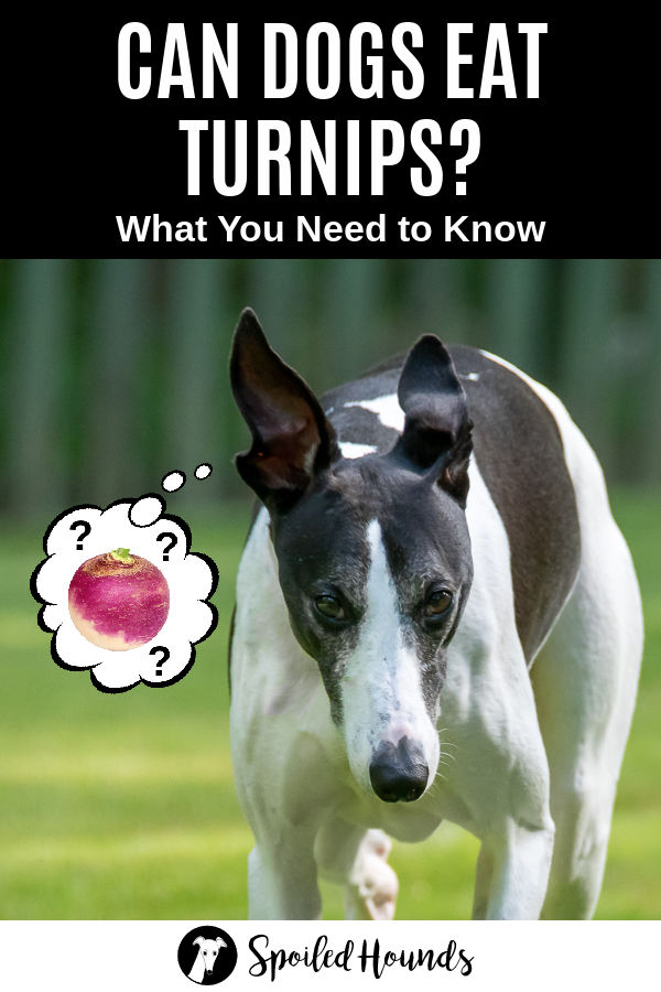dog wondering about turnips