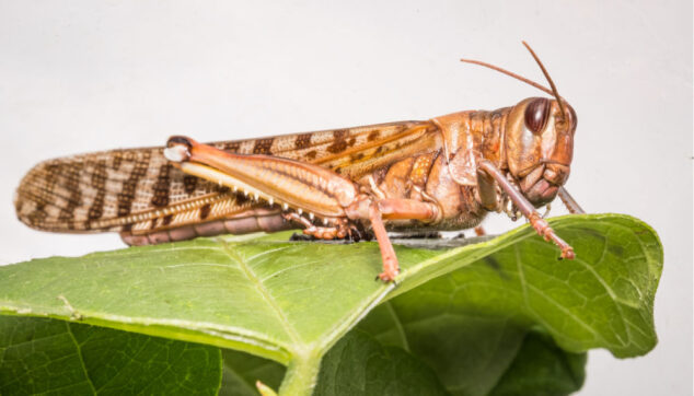 locust on a leaf
