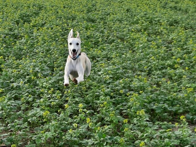 whippet dog jumping over mustard plants