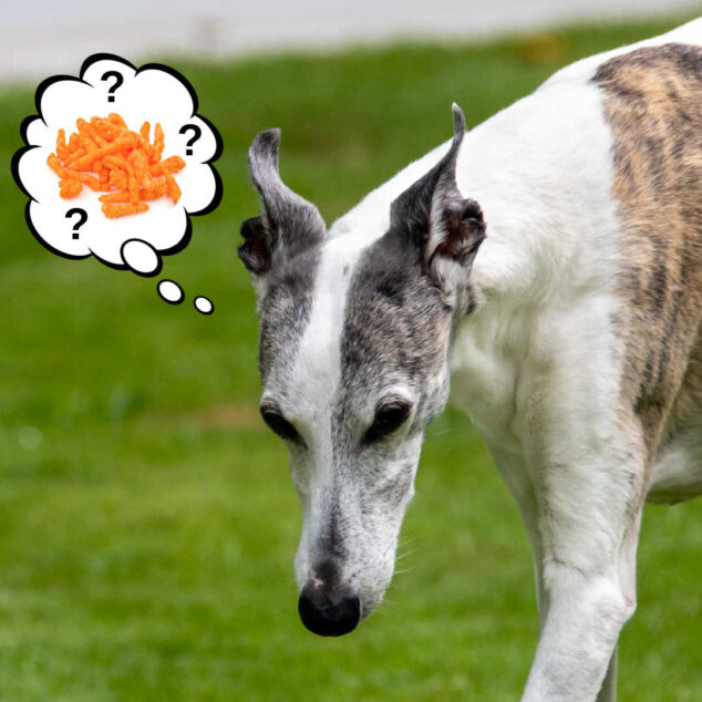 whippet dog wondering about Cheetos
