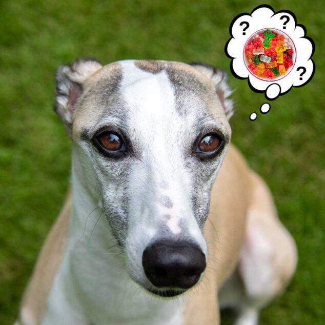 whippet dog wondering about gummy bears