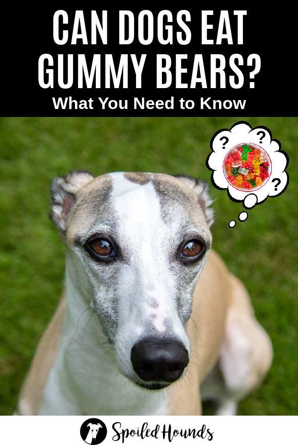 dog wondering about gummy bears