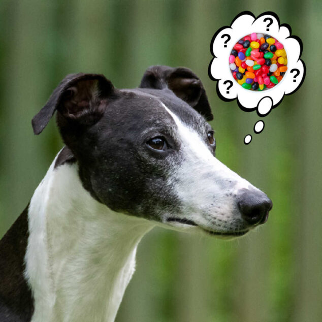 whippet dog wondering about jelly beans