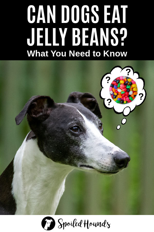 dog wondering about jelly beans