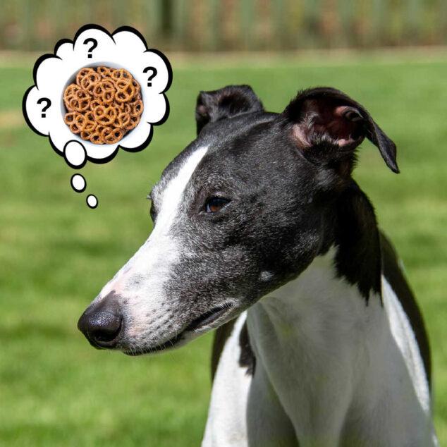 whippet dog wondering about pretzels